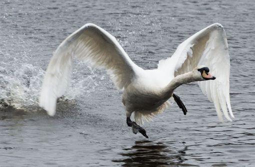 Aggressiver Schwan verteidigt Revier gegen Badegäste