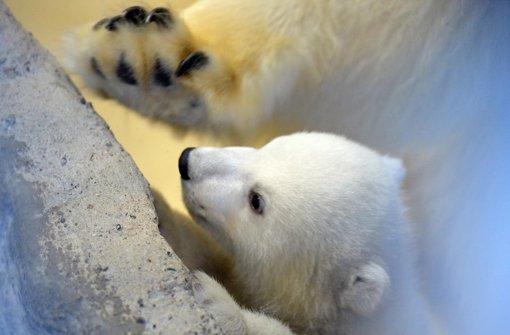 Knuffiges Eisbärenbaby zeigt sich