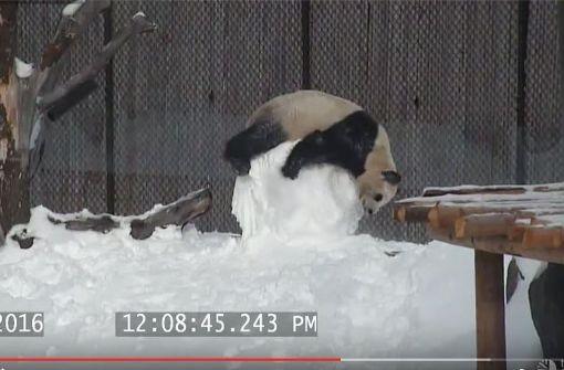 Putziger Panda kämpft mit Schneemann