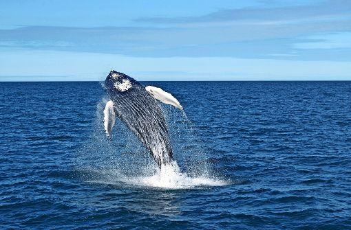 Blauwale sind oft Rechtsflosser