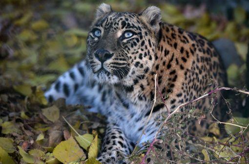 Leopard dringt in Küche ein und tötet Kind