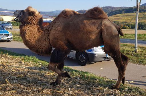 Kamel am Straßenrand irritiert Autofahrer