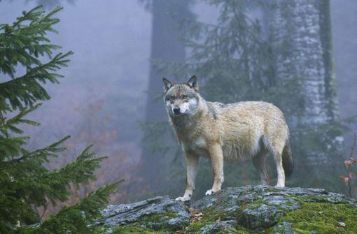 Minister bestätigt: Wolf bei Korntal ist echt