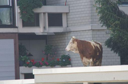 Ungewöhnlicher Anblick: Am Dienstagmorgen stand in Maichingen (Landkreis Böblingen) eine Kuh auf einem Garagendach in der Herrenberger Straße. Foto: SDMG