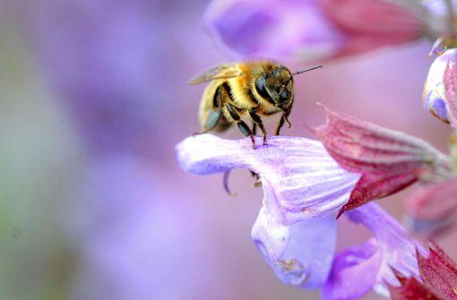 Auch der Salbei wächst auf angeblich ökologisch wertvollen Wiesen, die den Bienen  reichhaltig Nahrung bieten.Foto:dpa Foto: