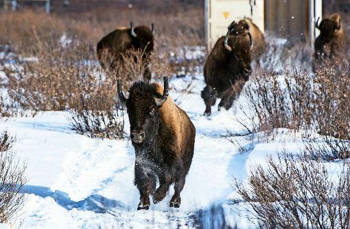 Die Herrscher der Rocky Mountains sind zurück