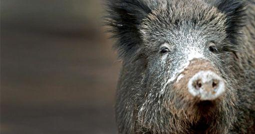 War Drückjagd Auslöser für Wildschwein-Irrlauf?