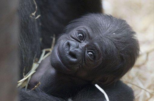 wilhelma gorillam dchen milele erblickt das licht der welt stuttgart stuttgarter nachrichten. Black Bedroom Furniture Sets. Home Design Ideas