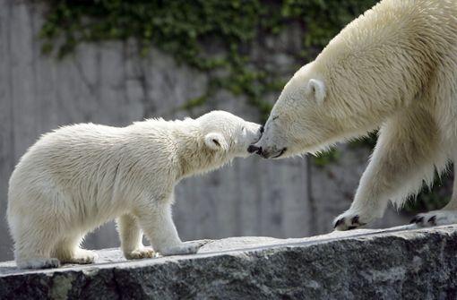 Bundesweite Aufmerksamkeit bekam die Stuttgarter Eisbärin, als sie 2007 ein Eisbärenjunges zur Welt brachte. Foto: dpa