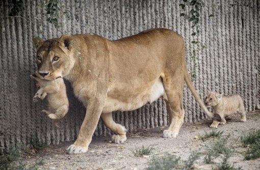 Der Zoo in Kopenhagen hat vier gesunde Löwen töten lassen - darunter zwei Babylöwen. Foto: dpa