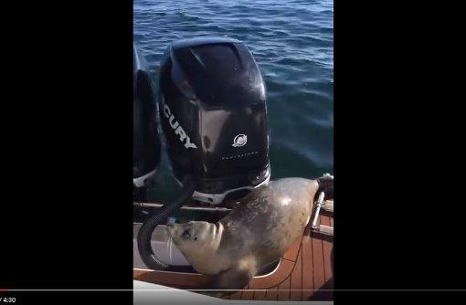 Kleiner Seehund entkommt Killerwalen