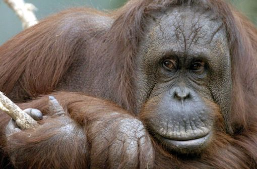 Orang-Utan begrapscht seine Tierpflegerin