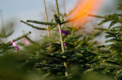 Diebe lassen 30 Weihnachtsbäume mitgehen