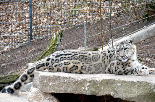 Zoo  hofft   auf kleine Schneeleoparden