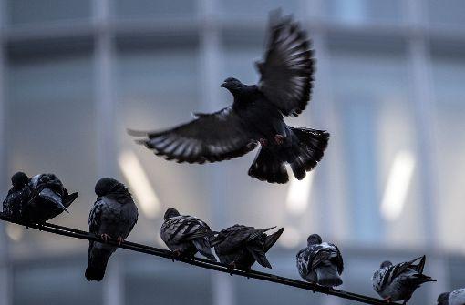 Schon wieder tote Vögel  – und mutmaßliches Gift