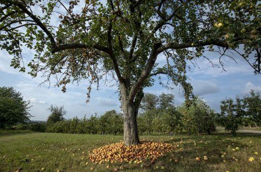 Was es im vergangenen Jahr zu wenig gab, hängt nun im Überfluss an den Bäumen: die Obsternte ist in diesem Jahr überdurchschnittlich  ausgefallen. Foto: Eppler
