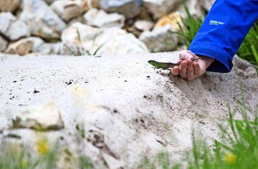 Wie Erfolg versprechend das Einfangen und Umsiedeln von Eidechsen überhaupt ist, wird auch unter Experten kontrovers diskutiert. Foto: dpa