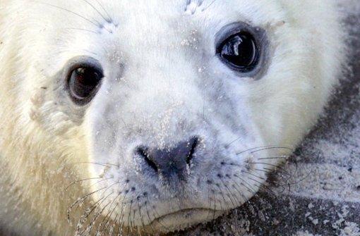Nicht nur niedlich – auch   würdevoll. Ein wenige Tage altes Robben-Baby. Foto: dpa
