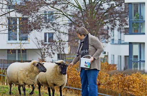 Im Samariterstift gibt es bald wieder Schafe