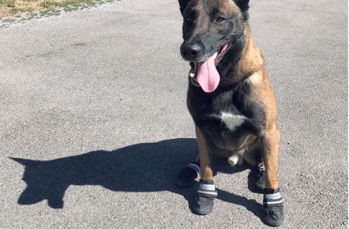 Wegen heißem Asphalt: Polizeihunde tragen Schuhe