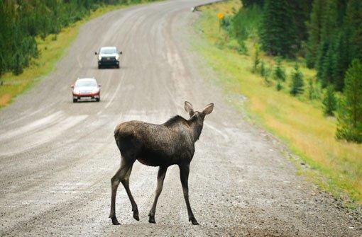 Der Elch lauert am Straßenrand