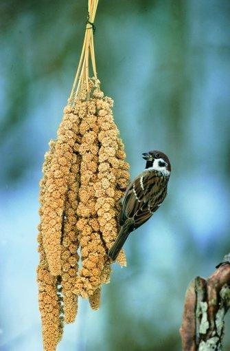 """Haussperlinge - auch Spatz genannt - häufig zu Gast an den Futterstellen. Sperlinge kann man zum Beispiel mit Haferflocken und Sonnenblumenkernen glücklich machen. Foto: """"Vögel füttern, aber richtig"""", Peter Berthold, Kosmos Verlag Stuttgart"""