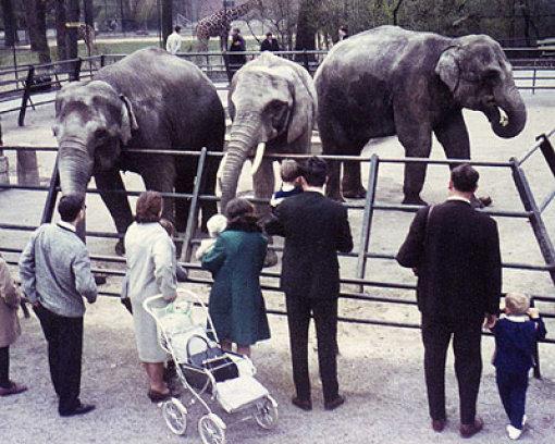 Lang ists her: Vilja (rechts) als Jungtier vor dem Umzug in das neue Elefantenhaus, das die Dickhäuter b1968/b beziehen konnten. Die erste Elefantenanlage (Foto) war recht klein, lag im unteren Teil der Wilhelma neben dem Giraffengehege und nur zwei Reihen Eisenstangen trennten die Tiere damals von den Besuchern. Da kam es schon mal vor, das die vorwitzigen Tiere Fotoapparate, Taschen und andere Mitbringsel ihrer Zaungäste verspeisten.  Foto: Wilhelma