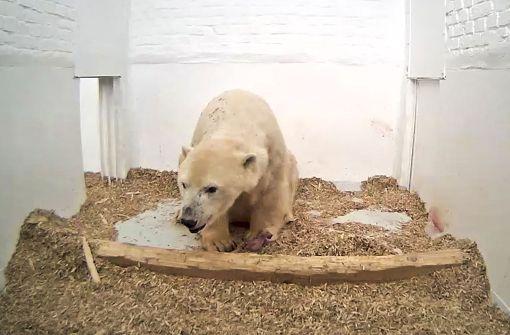 Überwachungskamera zeigt winziges Eisbären-Baby