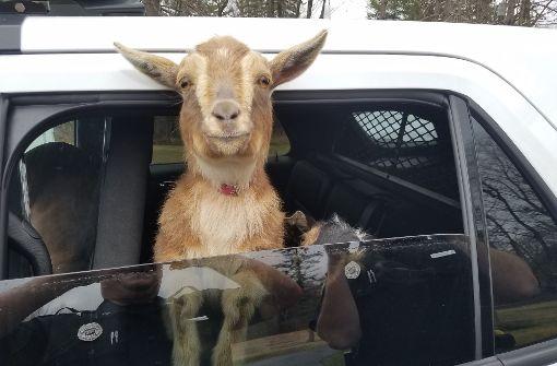 Polizist kümmert sich um entlaufene Ziegen