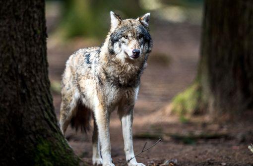 Schutz des Wolfes sorgt für Ärger zwischen Grünen und CDU