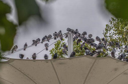 Viele Tauben sind unterernährt