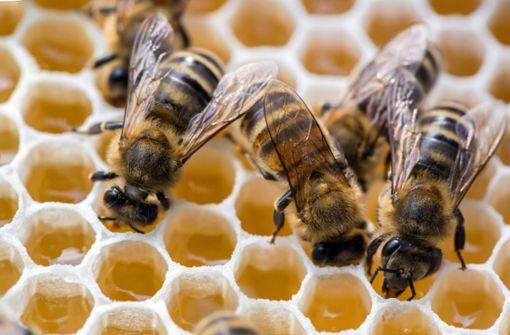 Die Varroa-Milbe hat sich zum Hauptfeind der Biene entwickelt. Der Parasit beißt sich an ihr fest und saugt sie aus. Vor allem die Larven sind betroffen. Foto: dpa