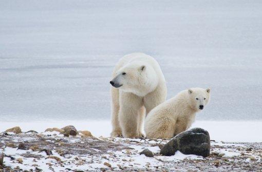 Eine Eisbärenmutter (Symbolfoto) nimmt auf der Suche nach Futter einiges auf sich Foto: