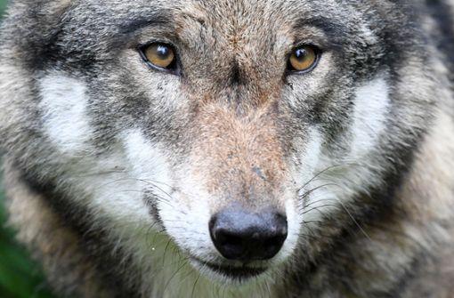Abschießen oder dulden? - Landtag uneins bei Umgang mit Wolf
