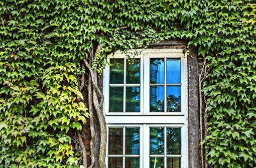 Efeu an der Fassade wirkt als natürliche Dämmung