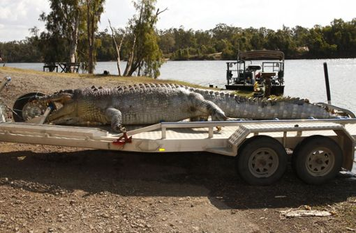 Dieses 5,2 Meter große Exemplar wurde im September 2017 im australischen Bundesstaat Queensland im Fitzroy River nahe der Stadt Rockhampton gefangen.  Foto: AFP