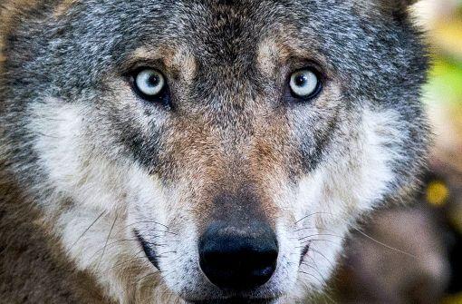 Wolf reißt Schafe in Baden-Württemberg
