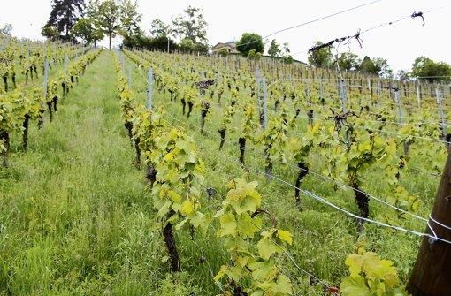Witterung bereitet Weinbauern mehr Arbeit