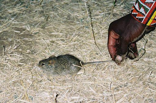 Mäuse lebten schon vor 15.000 Jahren bei Menschen