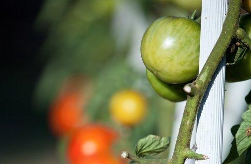 letzte ernte im herbst pfel lassen gr ne tomaten reifen. Black Bedroom Furniture Sets. Home Design Ideas