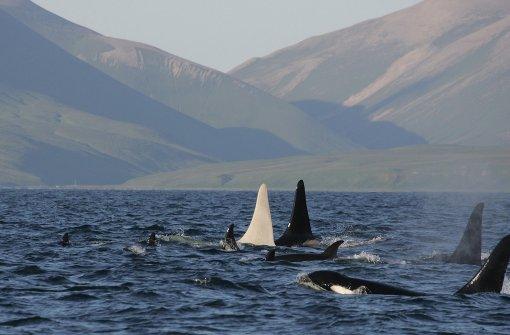 Forscher sichten sechs Schwertwal-Albinos