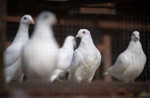 Tierschützer laufen Sturm gegen Brieftaubensport
