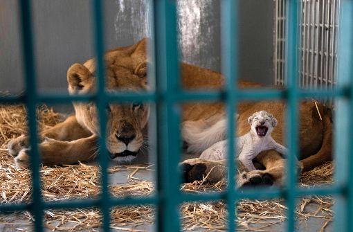 Aus Syrien gerettete Löwin bringt Junges zur Welt