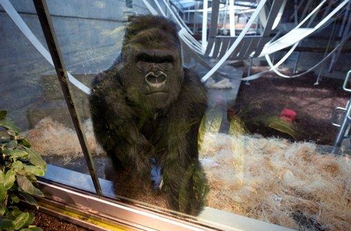 Weiter versuchen, Gorillas auszuwildern