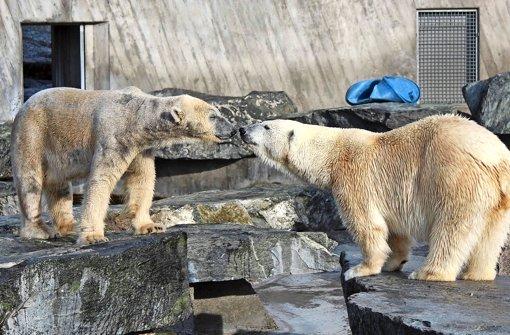 Erster Kuss im Eisbären-Gehege