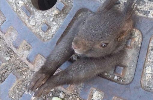 Schon wieder steckt ein Eichhörnchen im Gullideckel fest
