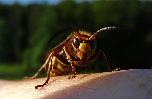 Hornissen schwärmen in den Abendstunden zum Jagen  aus Foto: dapd