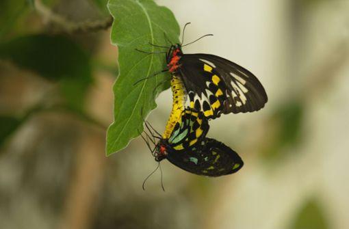 """In diesem Jahr wird das Naturvision-Festival von Schmetterlingen eröffnet. Genauer von diesem Film: """"Sex, Lies and Butterflies"""" läuft am Donnerstag um 19 Uhr im Central-Kino. Foto: Naturvision"""