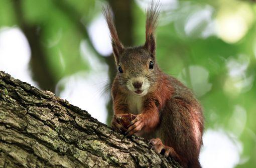 Fünf Tipps, wie Sie den Eichhörnchen helfen können