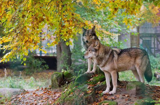 Angst vorm  bösen Wolf